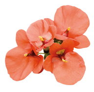 nemesia_flirtation_orange_02.jpg